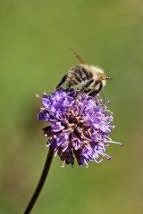 190916 bumbles on scabious (4)