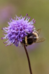 190916 bumbles on scabious (5)