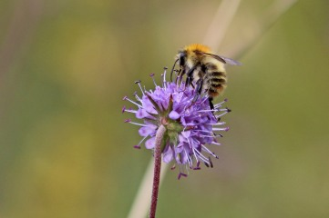 190916 bumbles on scabious (6)