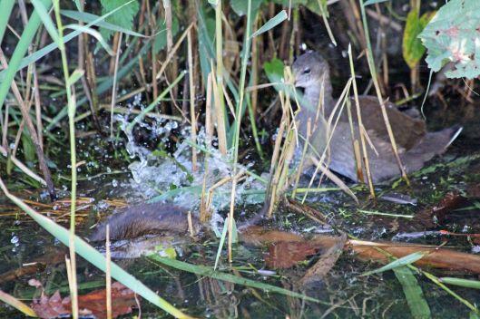 190919 water vole (5)