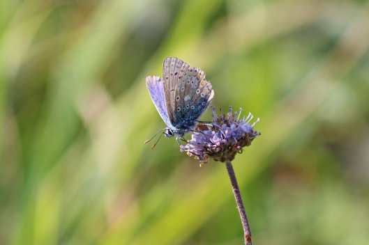 190921 common blue