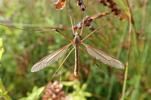 Marsh cranefly (1)