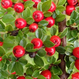 190927 berries (6)