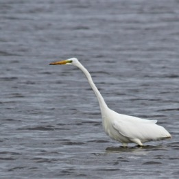 191001 great white egret (1)