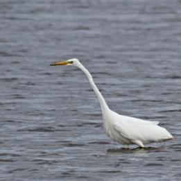 191001 great white egret (1)