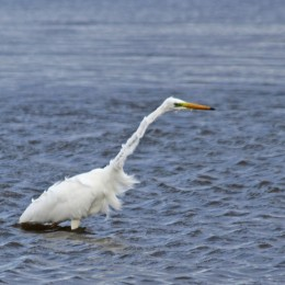 191001 great white egret (2)