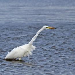 191001 great white egret (2)
