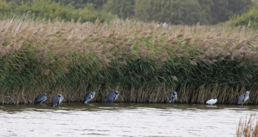 191001 herons and little egret