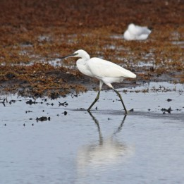 191001 little egret (1)