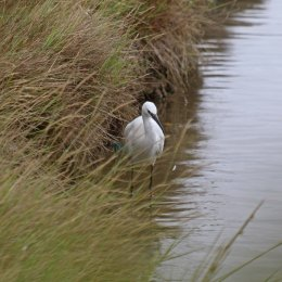 191001 little egret (2)