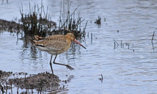 191002 black-tailed godwit (1)