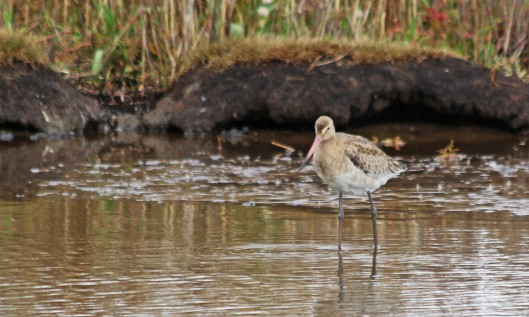 191002 black-tailed godwit (4)