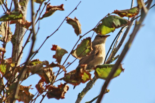 191004 great reed warbler (1)