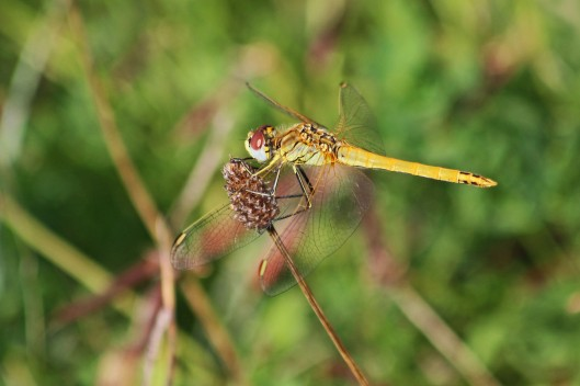 191005 red-veined darter
