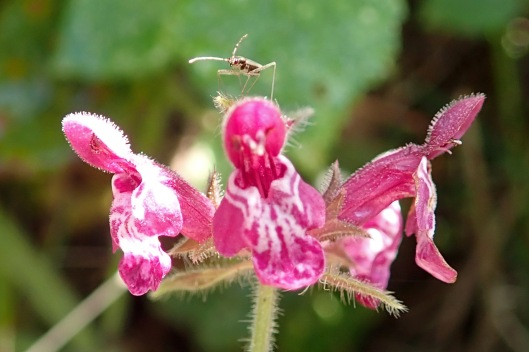 191016 hedge woundwort (2)