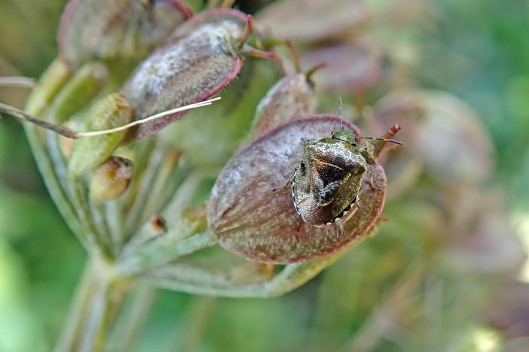 191017 Woundwort shieldbug (1)