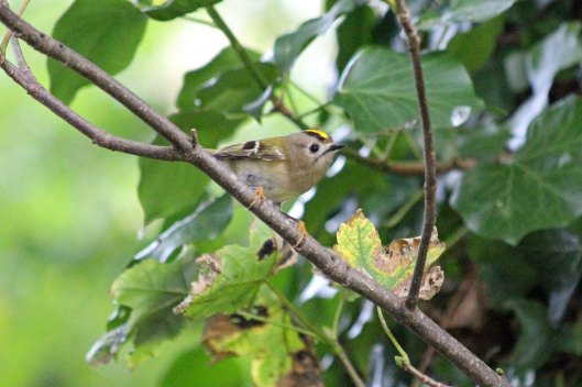 191019 goldcrests (1)