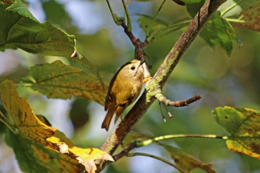 191019 goldcrests (2)