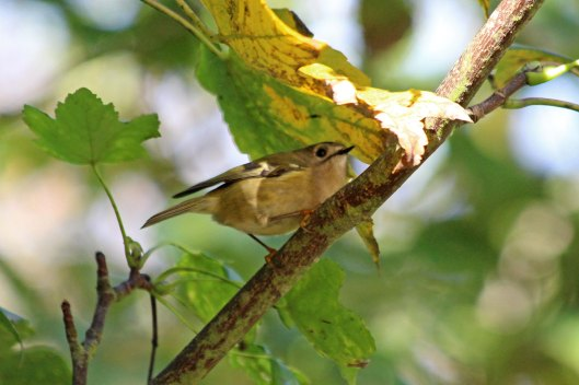 191019 goldcrests (3)