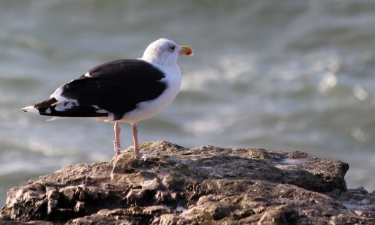 191028 GBB gull (3)