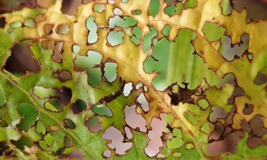 191029 nibbled leaf (1)