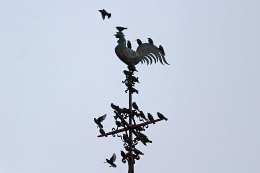 191103 starlings (1)