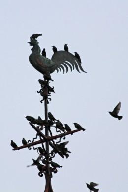 191103 starlings (3)
