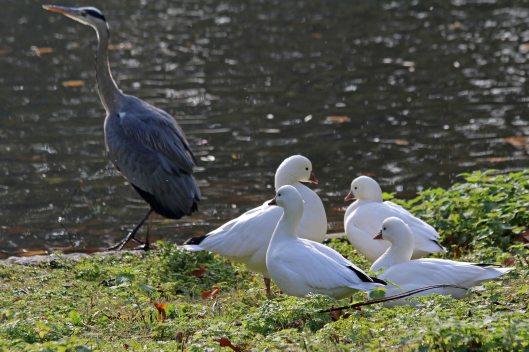 191104 heron white ducks