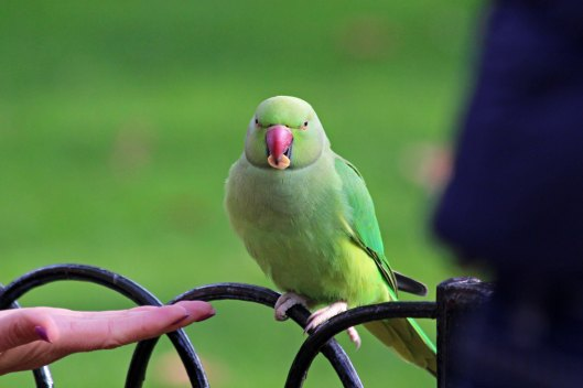 191104 ring-necked parakeet