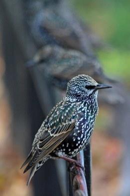 191105 starlings (2)