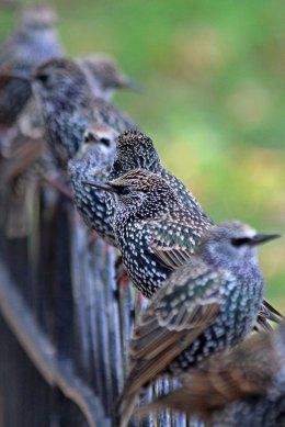 191105 starlings (3)