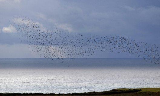 191105 starlings (4)