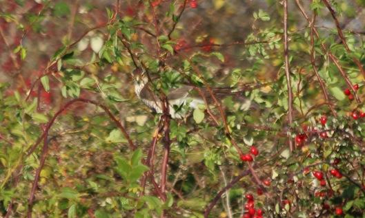191111 sparrowhawk (1)