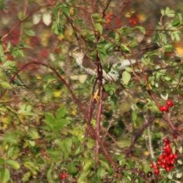 191111 sparrowhawk (2)