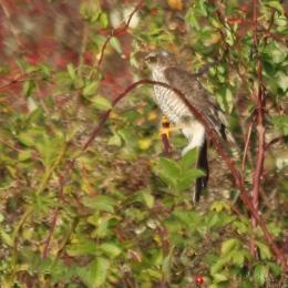 191111 sparrowhawk (3)