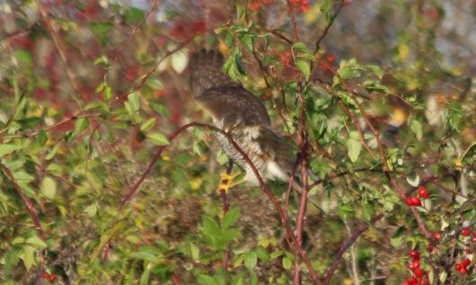191111 sparrowhawk (4)