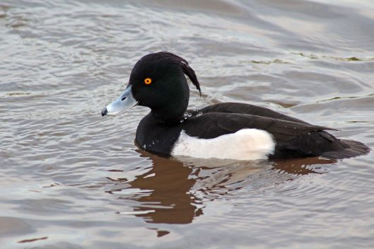 191113 tufted duck