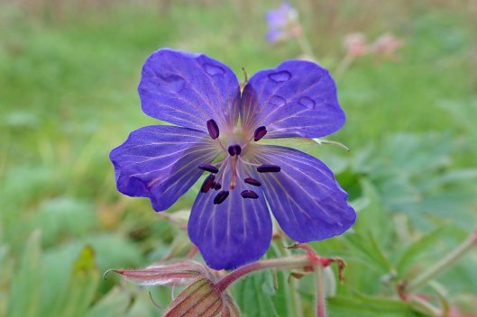 191116 meadow crane's-bill (1)