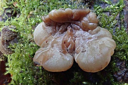 191118 tripe fungus (3)