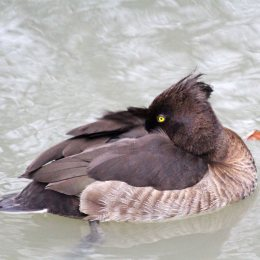 191121 tufted duck (4)