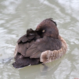 191121 tufted duck (5)