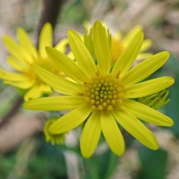 191124 common ragwort
