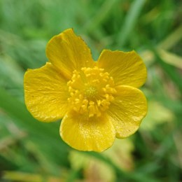 191124 meadow buttercup
