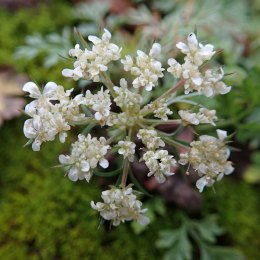 191124 umbellifer sp
