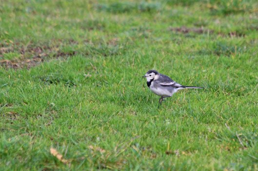 191129 4 pied wagtail
