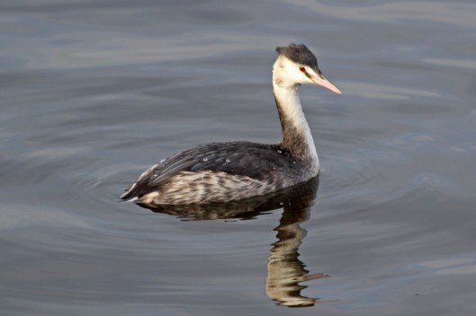 191129 5 Great crested grebe