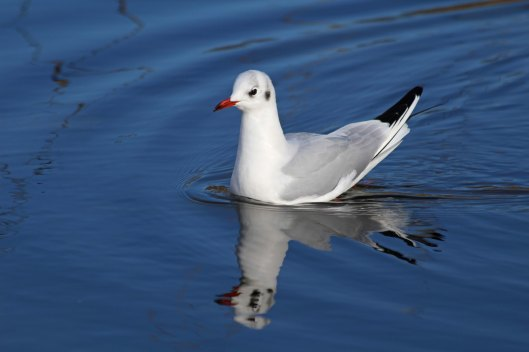 191129 6 black-headed gull