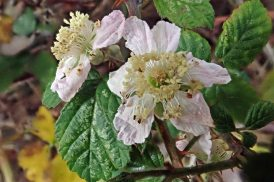 191201 bramble sp
