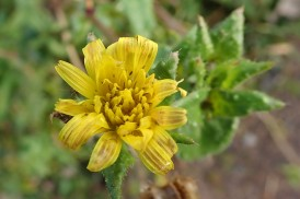 191201 bristly oxtongue