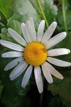 191201 oxeye daisy